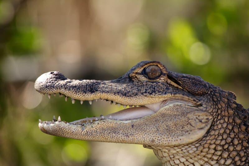 детеныши аллигатора стоковое фото rf