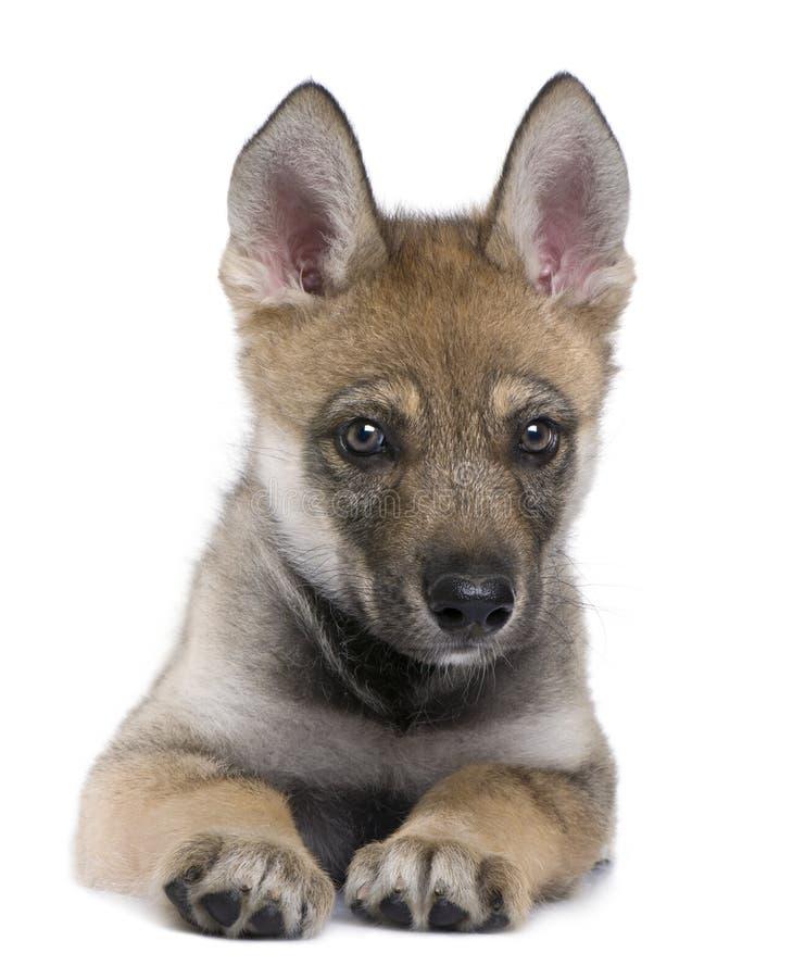 детеныши волка волчанки canis европейские стоковые фотографии rf