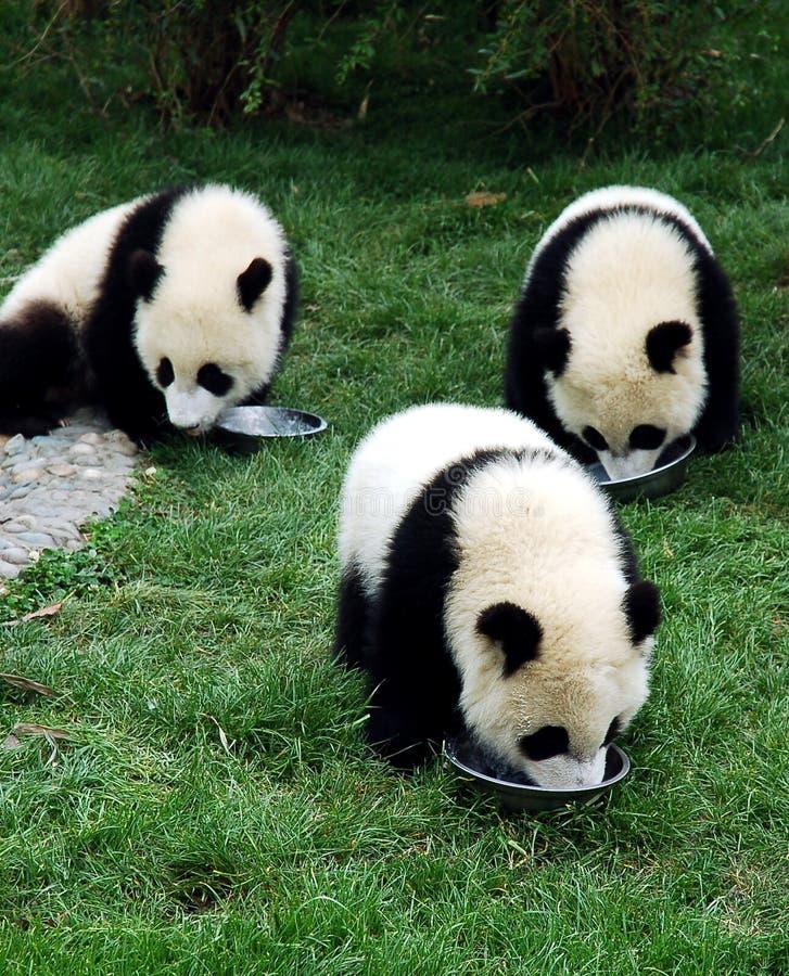 детеныши гигантской панды 3 стоковые изображения rf