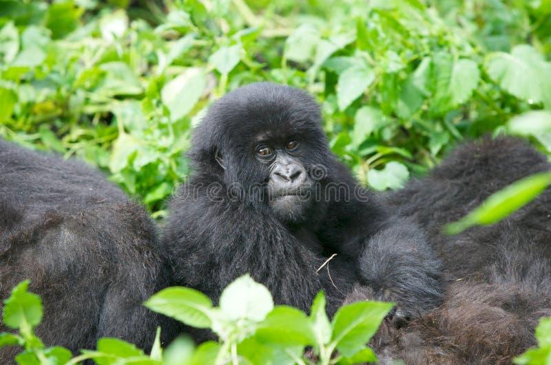 детеныши горы гориллы стоковые изображения