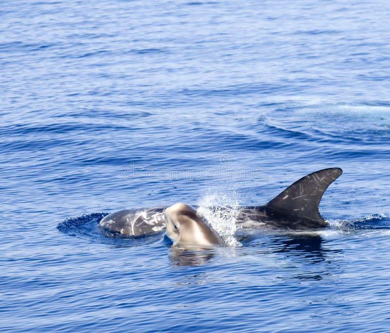 детеныши дельфина стоковое изображение