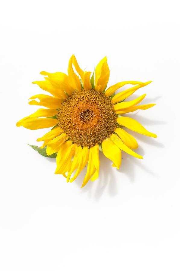 Детеныши зреют солнцецвет на белой предпосылке стоковое фото