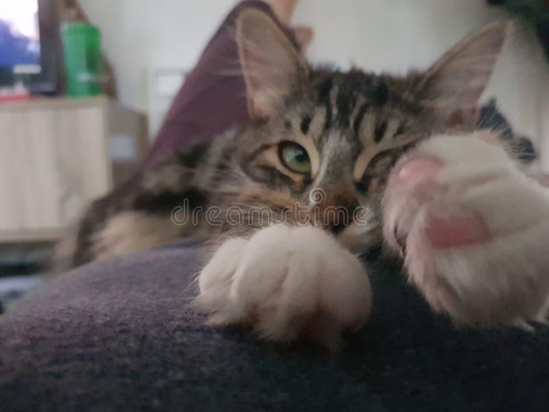 детеныши котенка створки breed шотландские стоковое фото