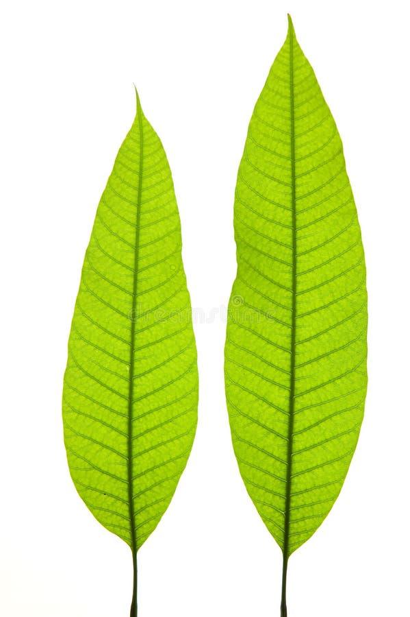 Download детеныши листьев стоковое фото. изображение насчитывающей свежесть - 6865682