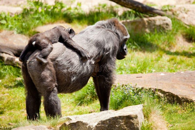 детеныши мати гориллы стоковые фотографии rf