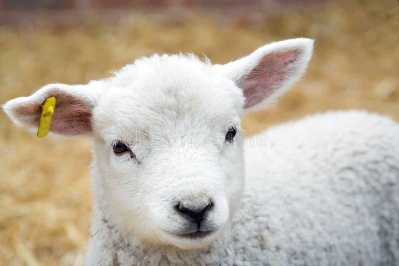 детеныши овечки стоковые изображения