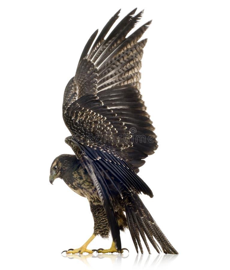 детеныши орла черного buzzard chested стоковые фото