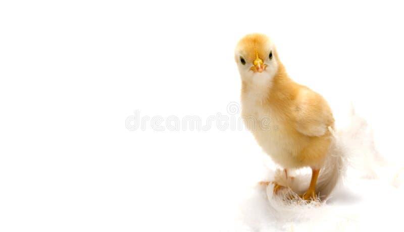 детеныши пасхи принципиальной схемы цыпленока стоковые изображения