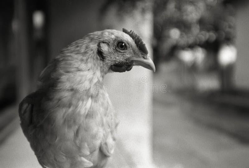детеныши портрета цыпленка стоковое фото
