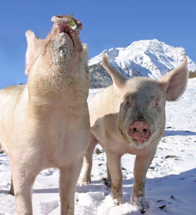 детеныши прогулки швейцарца свиней alps стоковая фотография