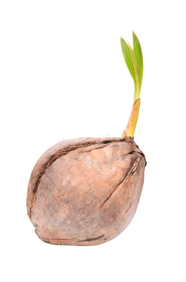 детеныши растущего завода кокоса малые стоковое фото