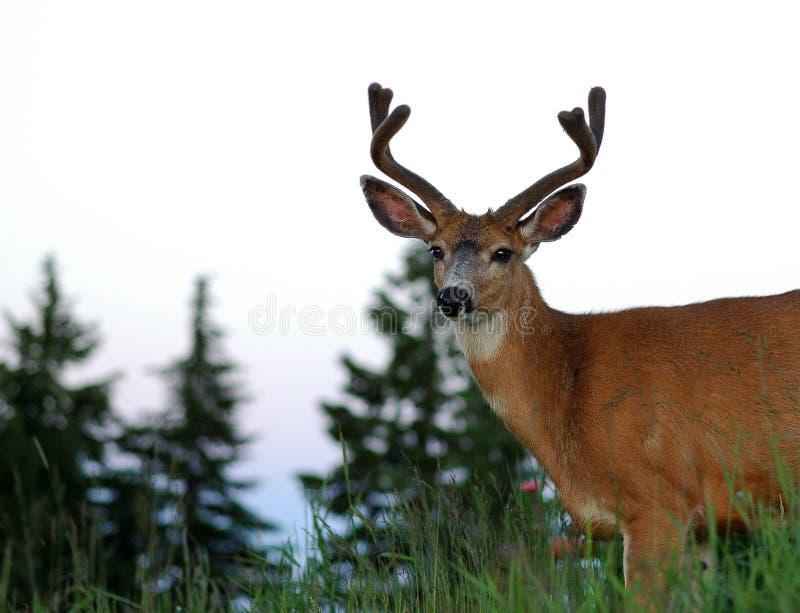 детеныши самеца оленя стоковое изображение rf