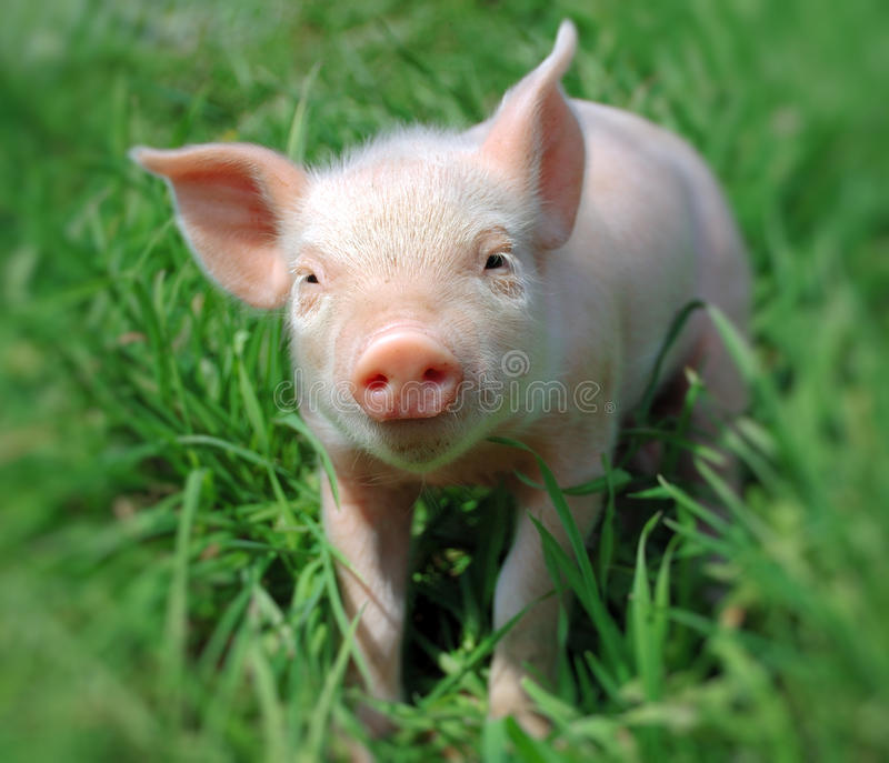 детеныши свиньи стоковое изображение rf