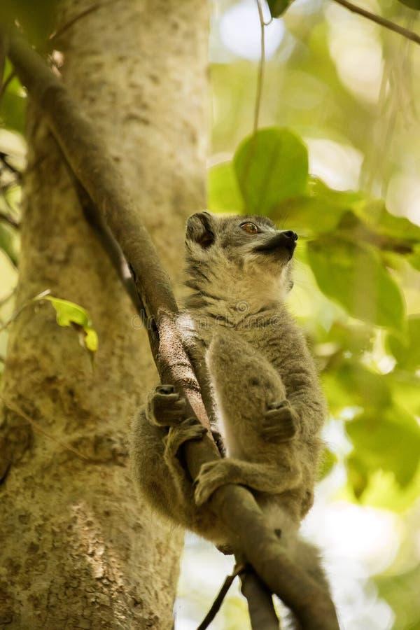 Детеныши увенчали лемура, coronatus Eulemur, от дерева наблюдая запас Ankarana фотографа, Мадагаскар стоковая фотография