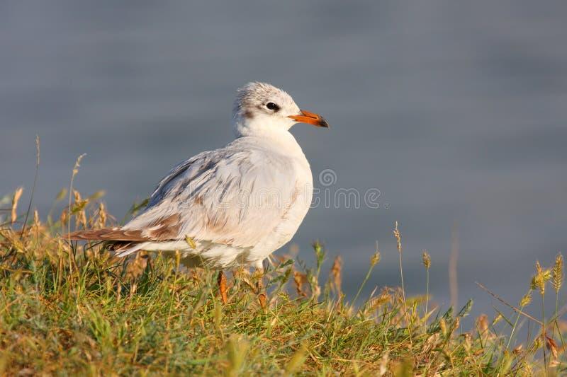 детеныши чайки среднеземноморские стоковые фото