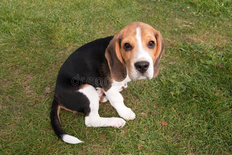 детеныши щенка beagle стоковое фото