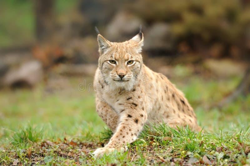 детеныши lynx