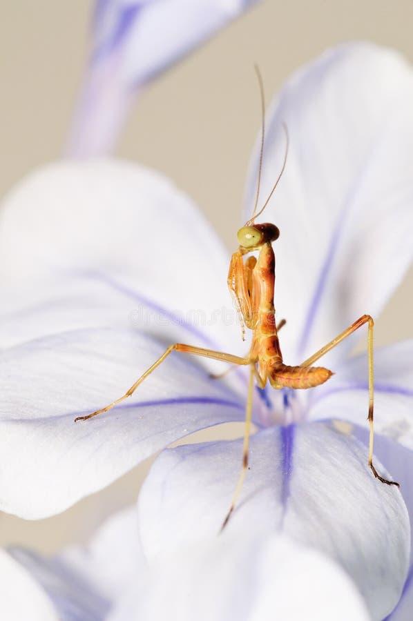детеныши mantis атакующего стоковые изображения rf