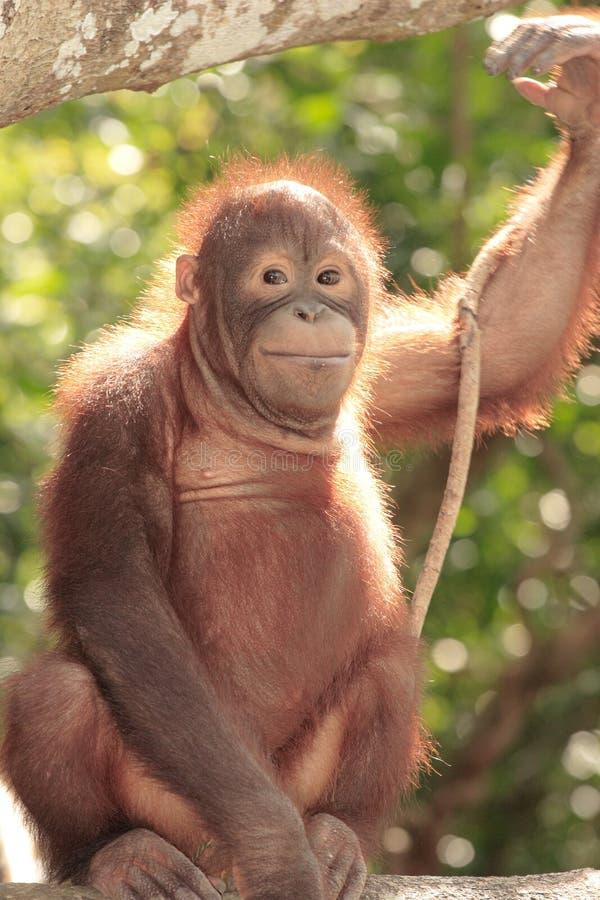 детеныши orang utan стоковые фото