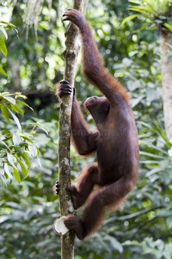 детеныши orangutan Борнео одичалые стоковое фото rf