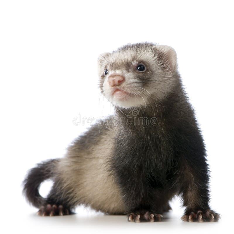 детеныши sable набора ferret сиамские стоковые фотографии rf