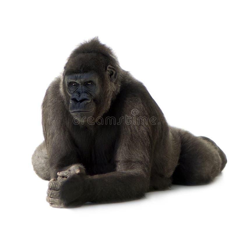 детеныши silverback гориллы стоковое фото