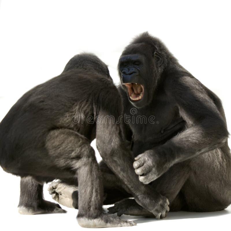 детеныши silverback гориллы стоковые фото