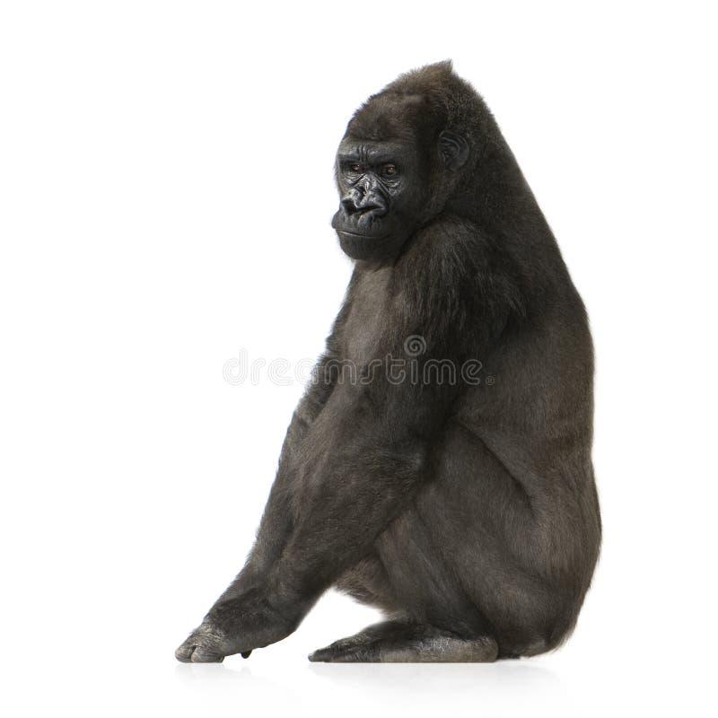 детеныши silverback гориллы стоковые фотографии rf
