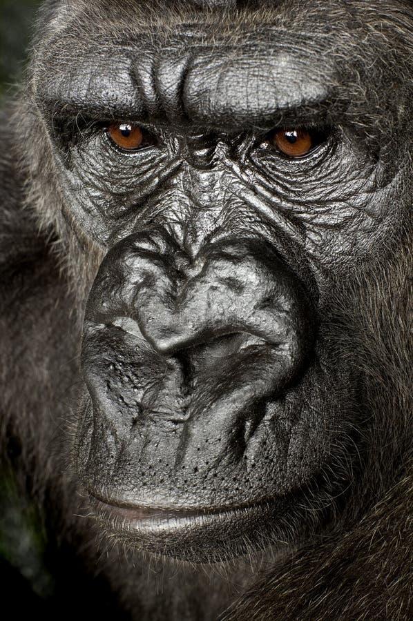 детеныши silverback гориллы стоковое фото rf