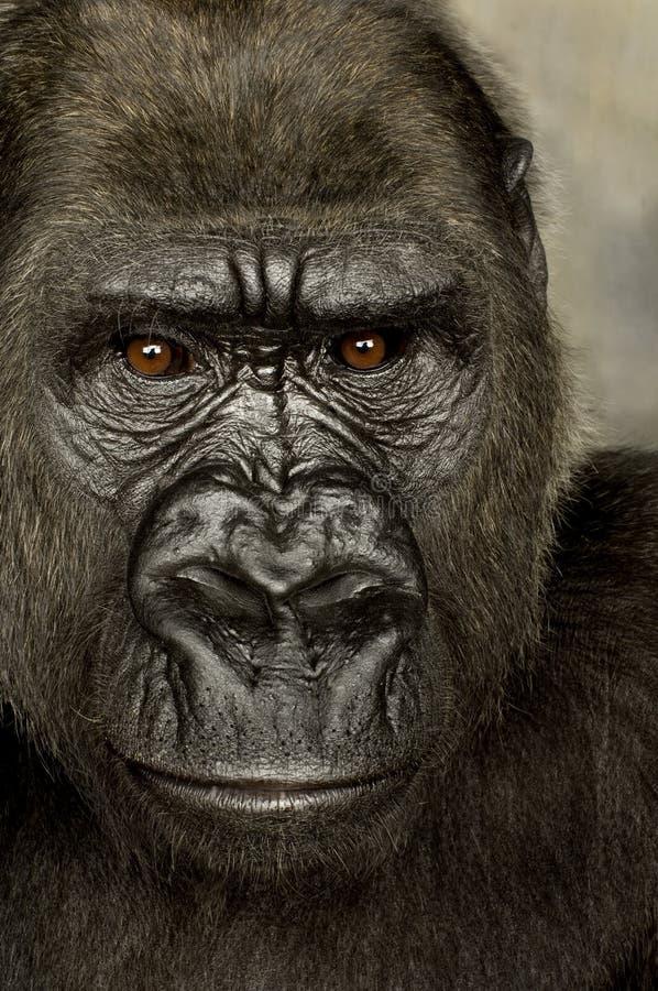 детеныши silverback гориллы стоковая фотография