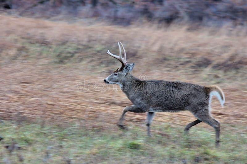 детеныши whitetail оленей самеца оленя стоковые изображения rf