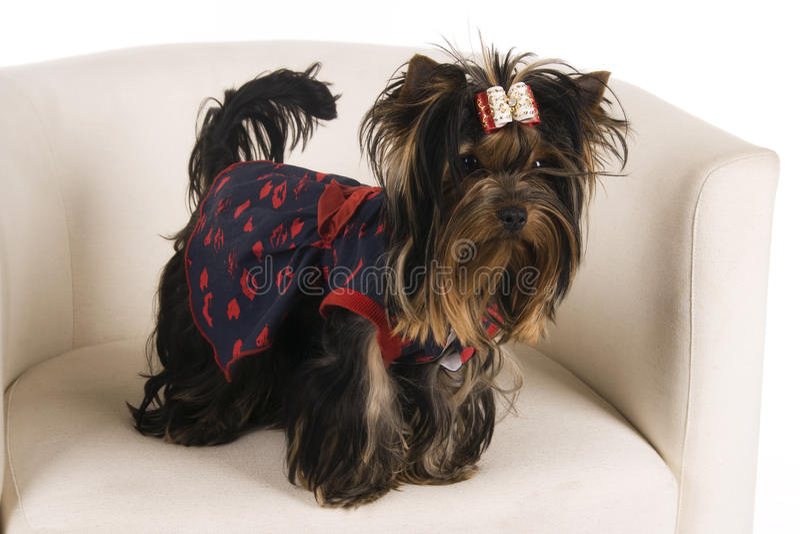 детеныши yorkshire terrier стоковые изображения rf