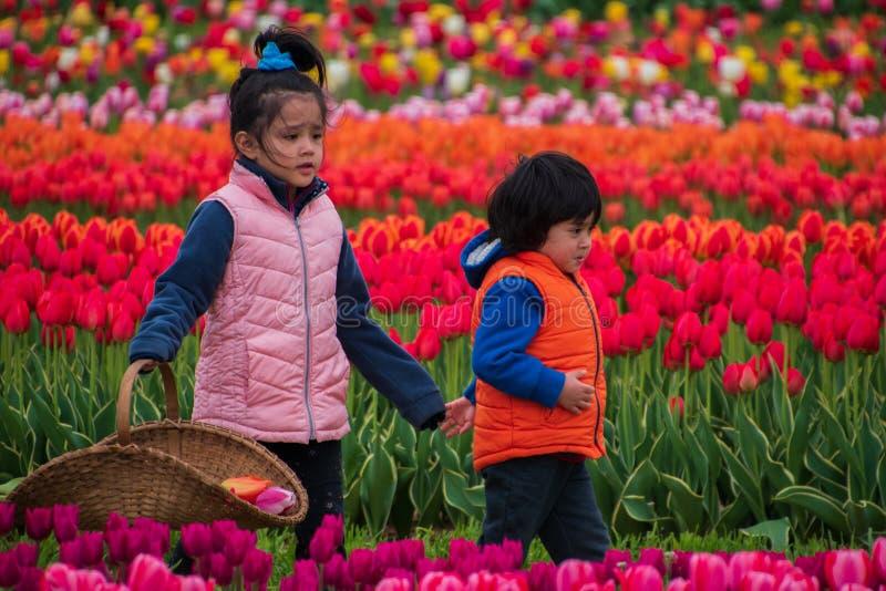 Дети брата и сестры идя через красочное поле тюльпана стоковые изображения rf