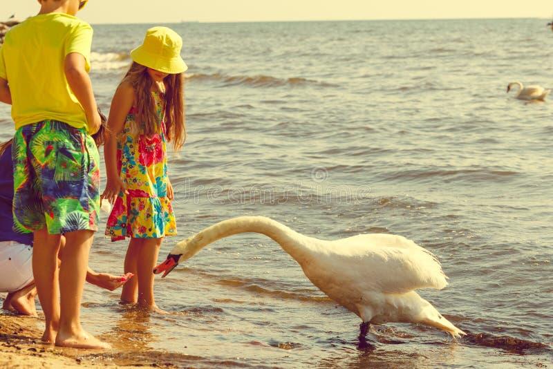 Дети играя с птицей лебедя белой стоковые фотографии rf