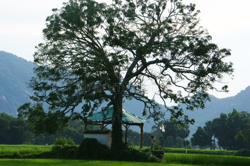 Дети на виске под большим деревом на рисе field стоковые изображения