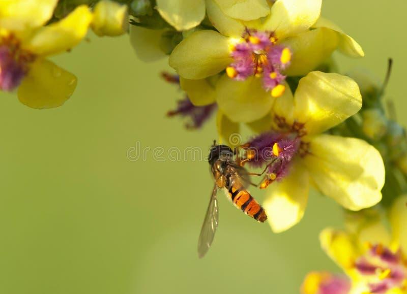 деятельность honeybee летания пчелы стоковая фотография
