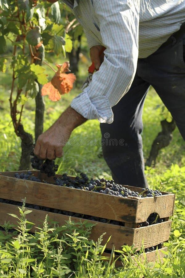 Деятельность виноградника стоковое фото rf