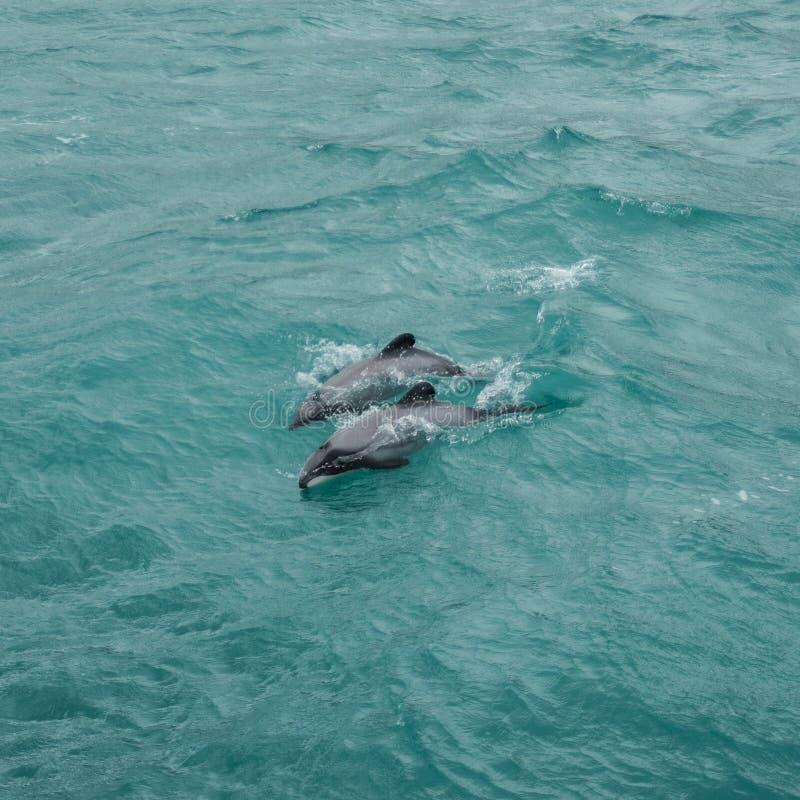 Дельфины Гектора стоковые фотографии rf