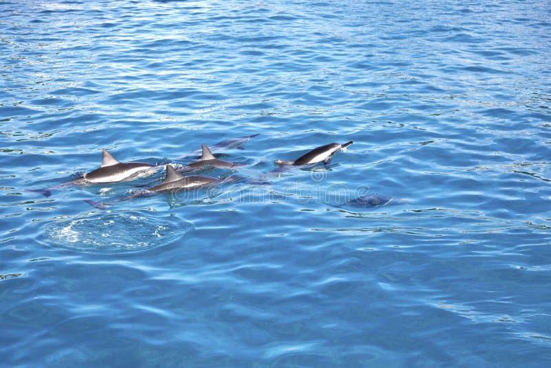 Дельфины Мауи Гаваи стоковые фото