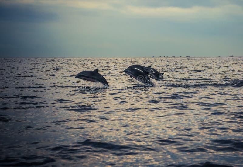 Дельфины на пляже Lovina стоковые фото