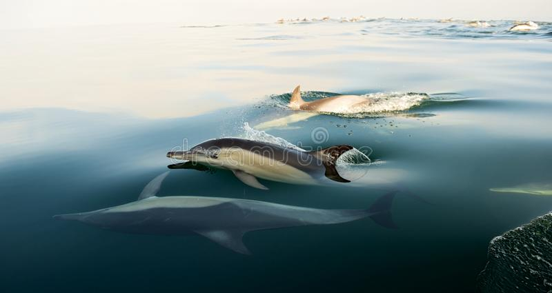 Дельфины, плавая в океане стоковая фотография