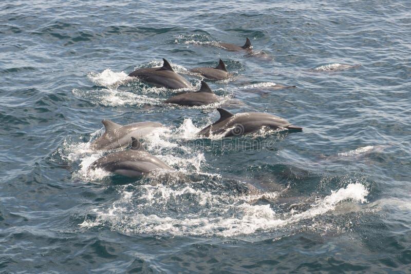 Дельфины плавая, Шри-Ланка стоковое фото rf