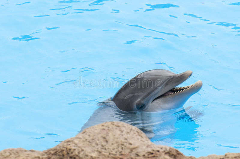 Дельфины плавая стоковая фотография rf