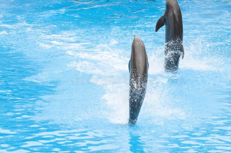 Дельфины плавая стоковые изображения rf