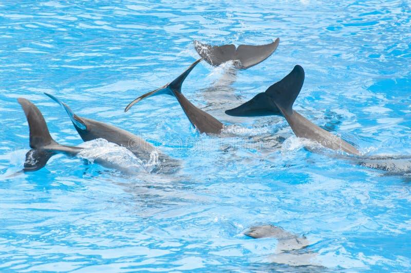 Дельфины плавая стоковое фото