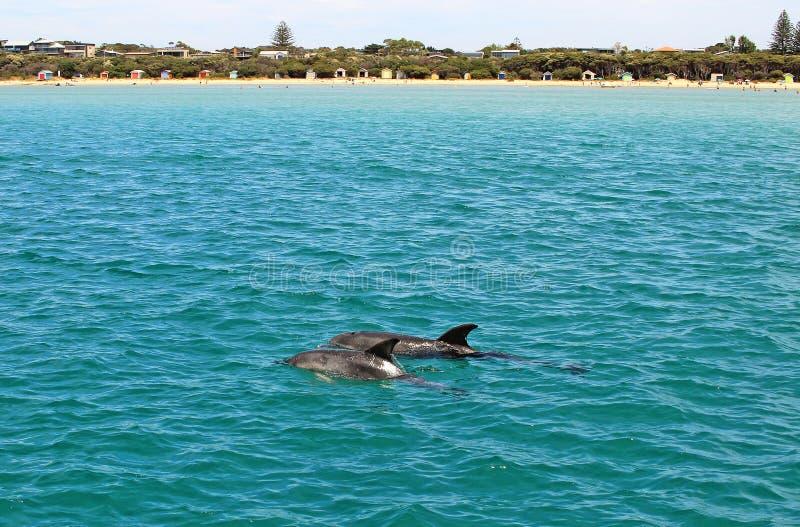 Дельфины плавая стоковые фотографии rf