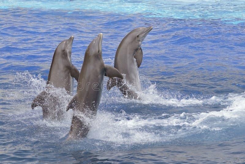 Дельфины стоя из воды стоковые фото