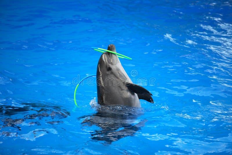 Дельфин играя с обручем стоковое фото rf