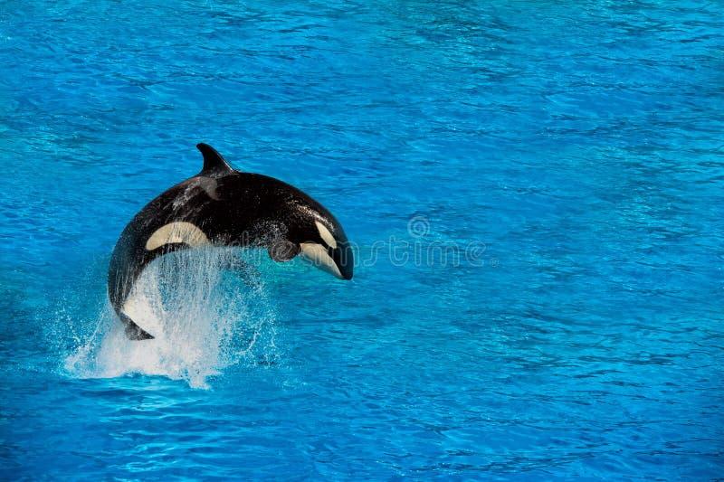 Дельфин-касатка косатки пока скачущ стоковое фото