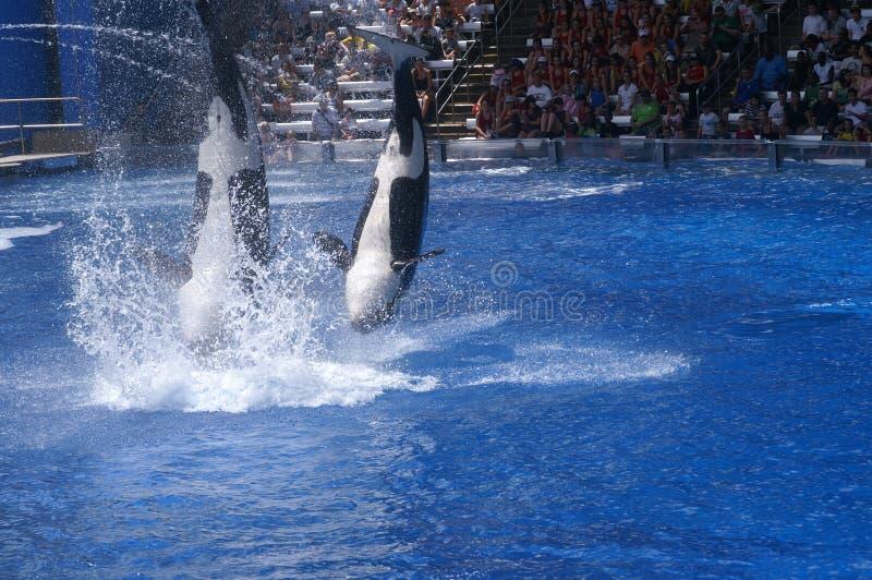 Дельфин-касатки выполняют на Seaworld стоковое фото rf